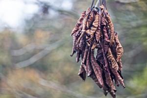 Blätterbündel